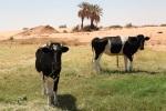 Al Libi family owns Dutch cows in the desert